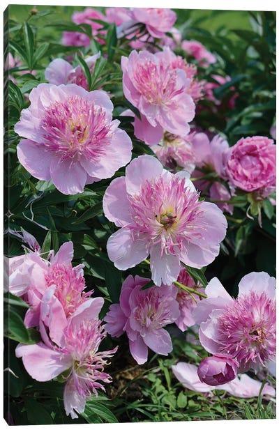 Garden Of Blooming Peony II Canvas Art Print