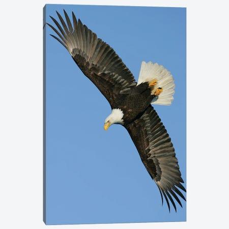 Eagle Alaska III Canvas Print #MIU10} by Miguel Lasa Canvas Art