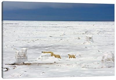 Polar Bears Canada XXVII Canvas Art Print