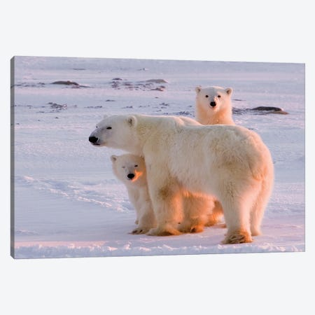 Polar Bears Canada XXX Canvas Print #MIU117} by Miguel Lasa Canvas Art