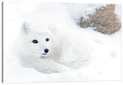 Artic Fox Canada V Canvas Art Print