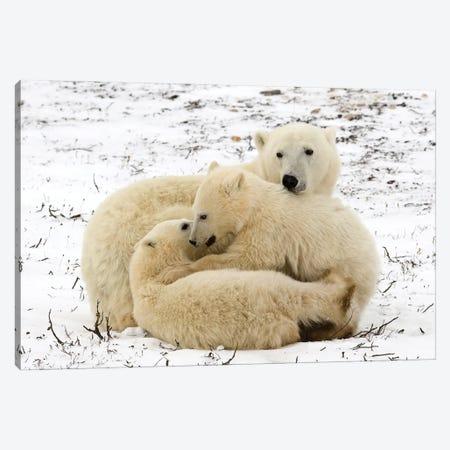 Polar Bears III Canvas Print #MIU126} by Miguel Lasa Art Print