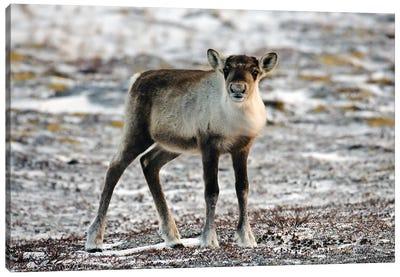 Deer Canada Canvas Art Print