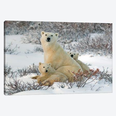 Polar Bears Canada XXXIX Canvas Print #MIU129} by Miguel Lasa Canvas Wall Art