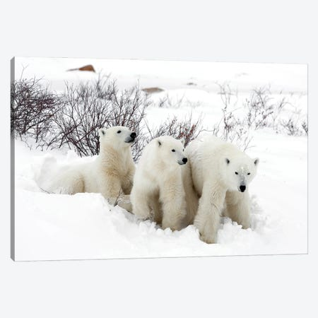 Polar Bears Canada XLIX Canvas Print #MIU140} by Miguel Lasa Canvas Artwork