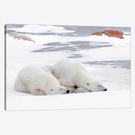 Polar Bears Canada L Canvas Print #MIU141} by Miguel Lasa Canvas Wall Art