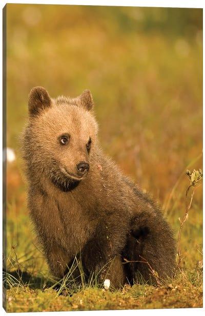 Bears Finland III Canvas Art Print