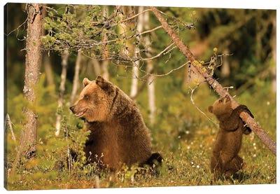 Bears Finland IV Canvas Art Print