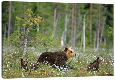 Bears Finland V Canvas Art Print
