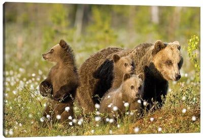 Bears Finland VIII Canvas Art Print