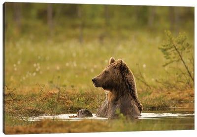 Bears Finland XII Canvas Art Print