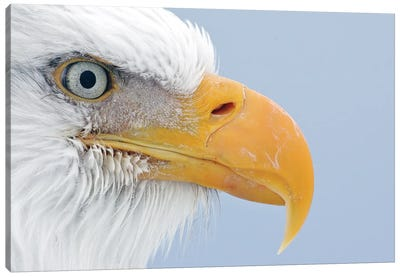 Eagles Alaska II Canvas Art Print