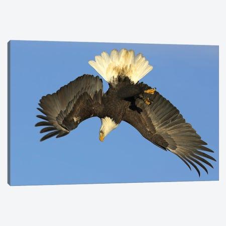 Eagle Alaska V Canvas Print #MIU15} by Miguel Lasa Art Print