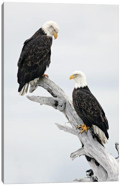 Eagles Alaska III Canvas Art Print