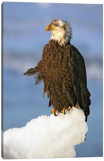 Eagles Alaska IV Canvas Art Print