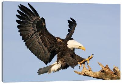 Eagle Alaska XII Canvas Art Print