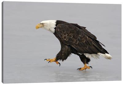 Eagle Alaska XV Canvas Art Print