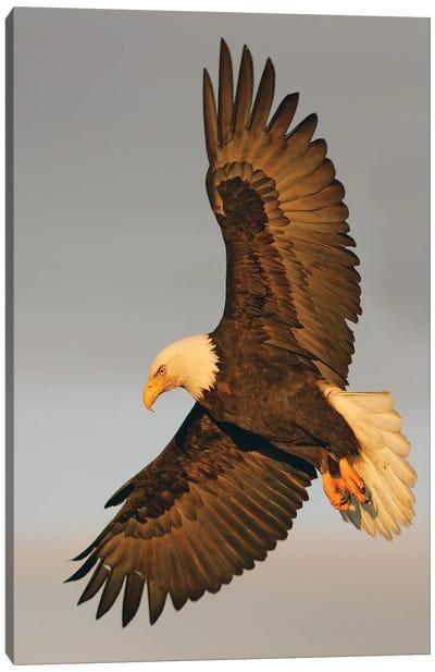 Eagle Alaska XVI Canvas Art Print