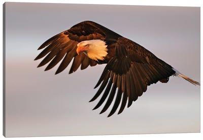 Eagle Alaska XVII Canvas Art Print