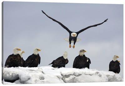 Eagle Alaska XXIII Canvas Art Print