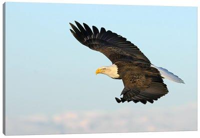 Eagle Alaska XXVII Canvas Art Print