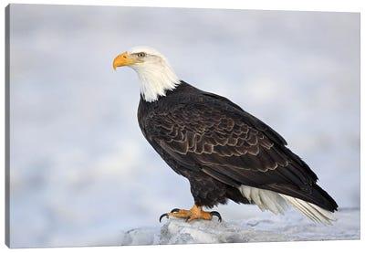Eagle Alaska XXVIII Canvas Art Print
