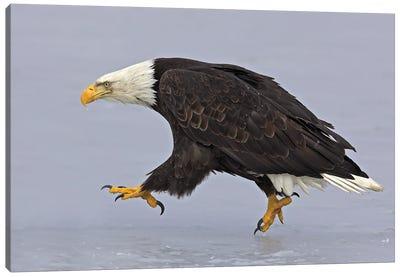 Eagle Alaska XXXIII Canvas Art Print