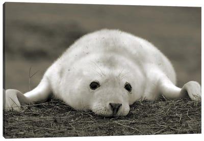 Seal Black And White Uk Canvas Art Print