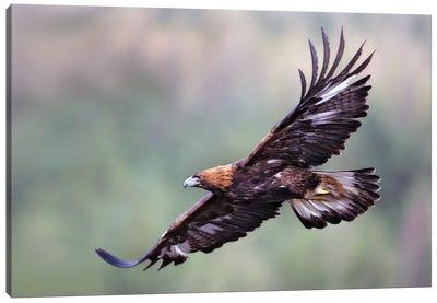Eagle Scotland II Canvas Art Print