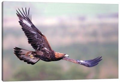 Eagle Scotland IV Canvas Art Print