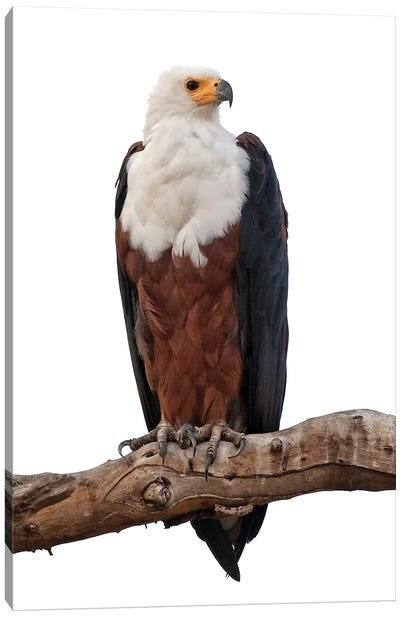 Fish Eagle SA Canvas Art Print