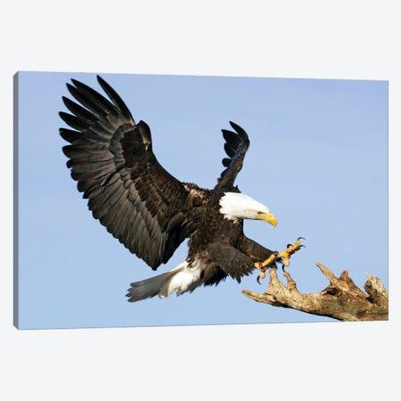 Eagle Alaska VIII Canvas Print #MIU26} by Miguel Lasa Canvas Artwork