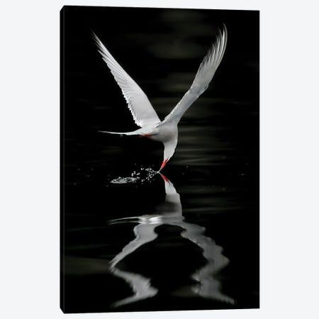 Tern Norway Canvas Print #MIU27} by Miguel Lasa Canvas Art