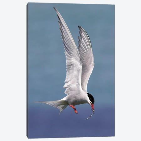 Artic Tern Canvas Print #MIU28} by Miguel Lasa Canvas Print
