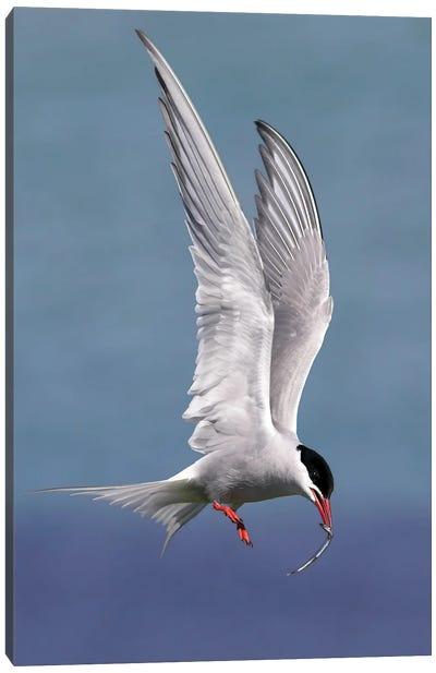 Artic Tern Canvas Art Print