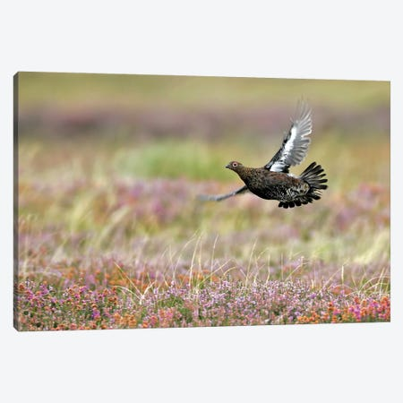 Red Grouse Uk Canvas Print #MIU29} by Miguel Lasa Canvas Art Print