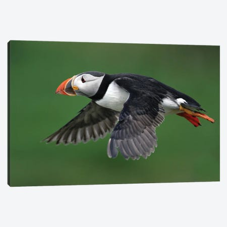 Puffin Uk III Canvas Print #MIU34} by Miguel Lasa Canvas Art Print