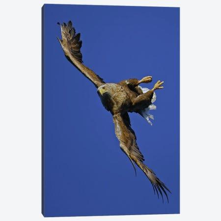 Eagle Norway III Canvas Print #MIU38} by Miguel Lasa Canvas Art