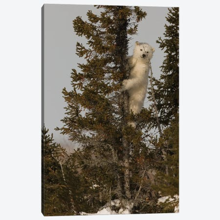 Polar Bears Cubs VI Canvas Print #MIU44} by Miguel Lasa Canvas Art