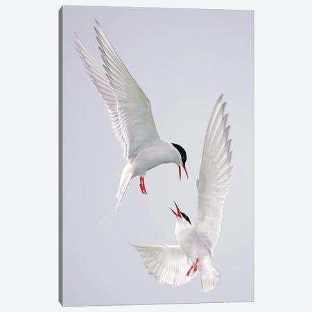 Terns Uk I Canvas Print #MIU55} by Miguel Lasa Canvas Print