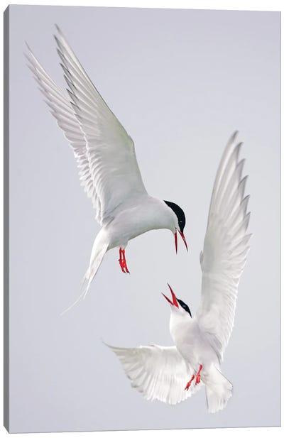 Terns Uk I Canvas Art Print