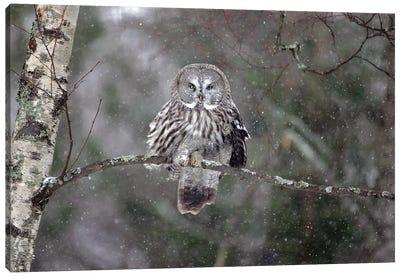 Great Grey Owl Finland VIII Canvas Art Print