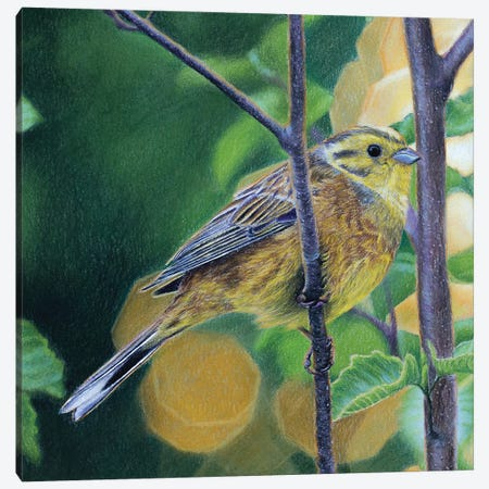 Yellowhammer Canvas Print #MIV100} by Mikhail Vedernikov Canvas Artwork
