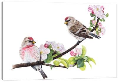 Common Redpolls Canvas Art Print