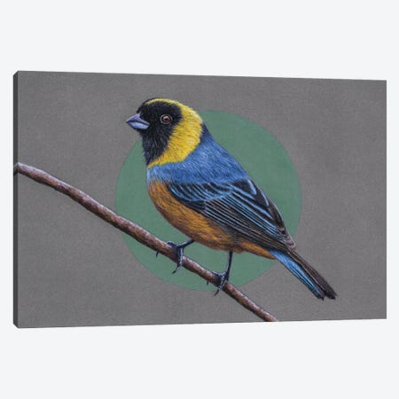Golden-Collared Tanager 3-Piece Canvas #MIV43} by Mikhail Vedernikov Canvas Artwork