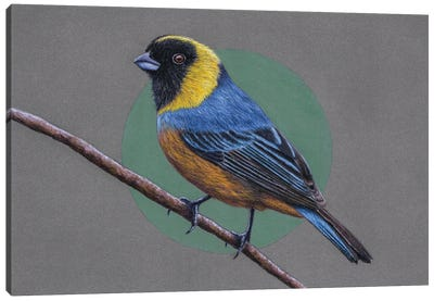 Golden-Collared Tanager Canvas Art Print