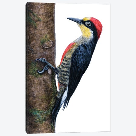 Yellow-Fronted Woodpecker Canvas Print #MIV98} by Mikhail Vedernikov Art Print