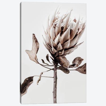 Protea V Canvas Print #MIZ190} by Magda Izzard Canvas Print