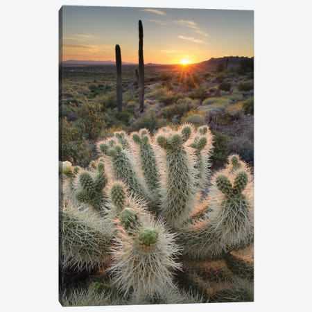 USA, Arizona. Teddy Bear Cholla cactus illuminated by the setting sun, Superstition Mountains. Canvas Print #MJC105} by Alan Majchrowicz Canvas Art