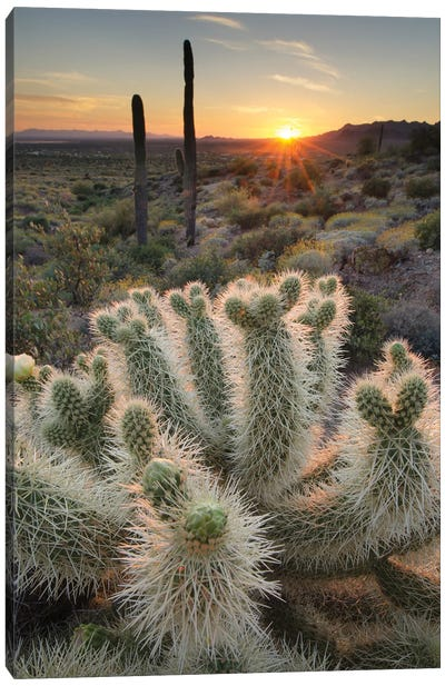 USA, Arizona. Teddy Bear Cholla cactus illuminated by the setting sun, Superstition Mountains. Canvas Art Print